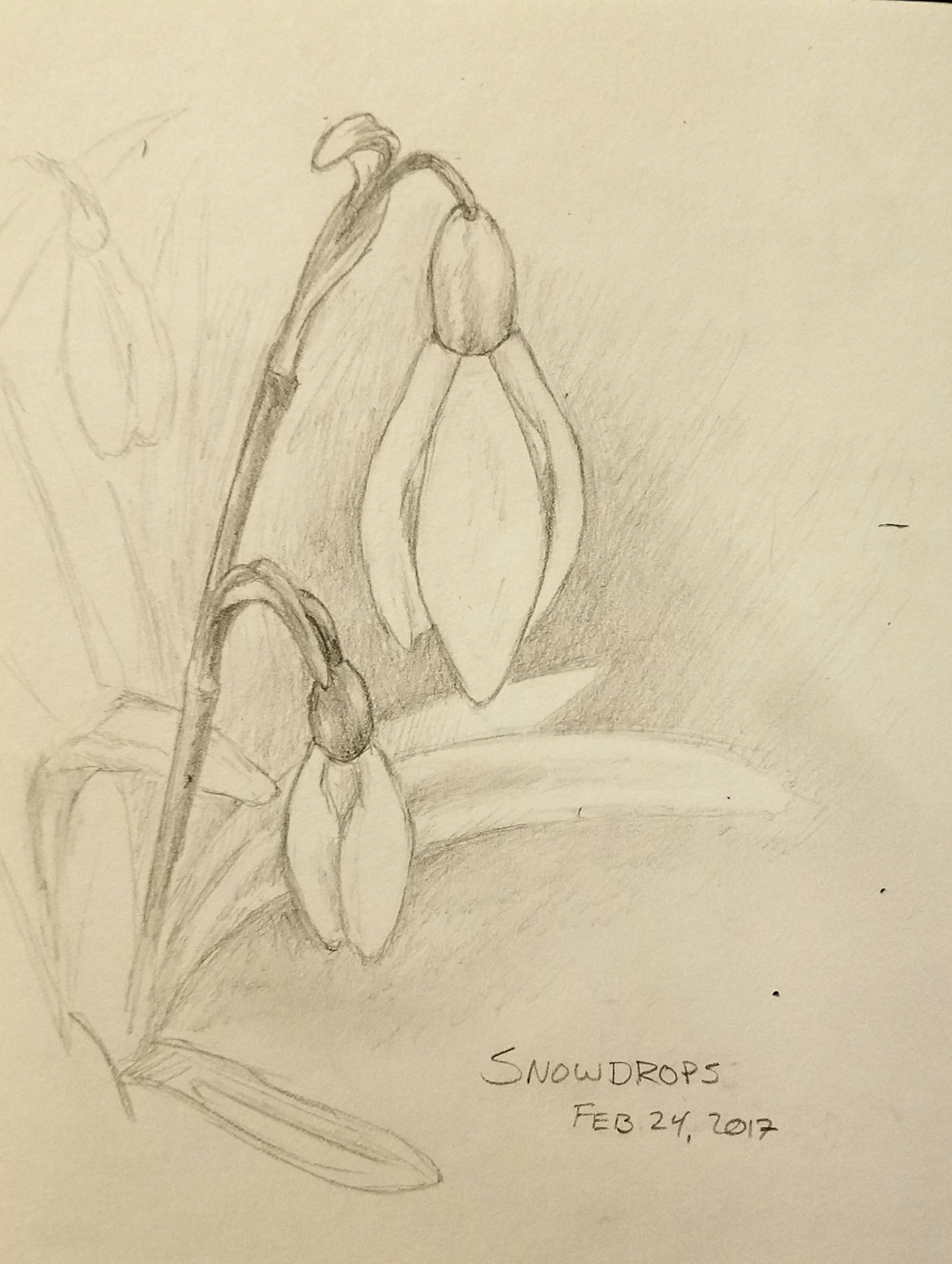 Pencil sketch of snowdrop flowers